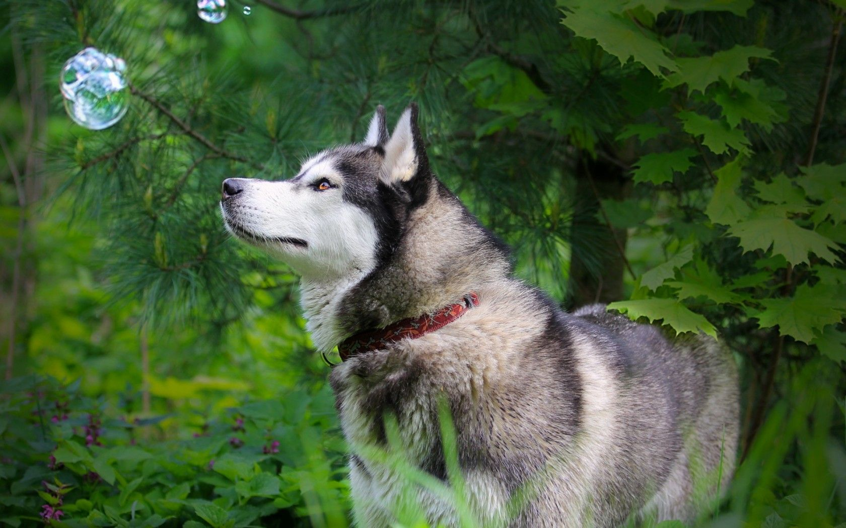 Free Download Wallpapers Husky White Hd Widescreen My Car Pictures Dog Decor Dog Wallpaper Dog Pictures