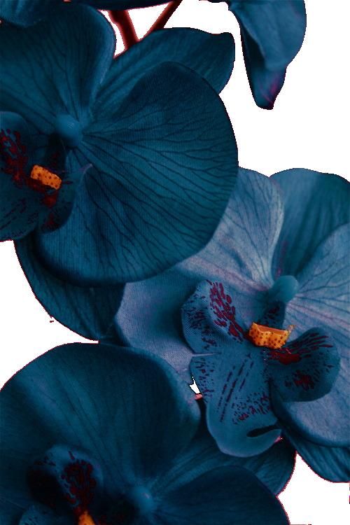 dark blue orchids