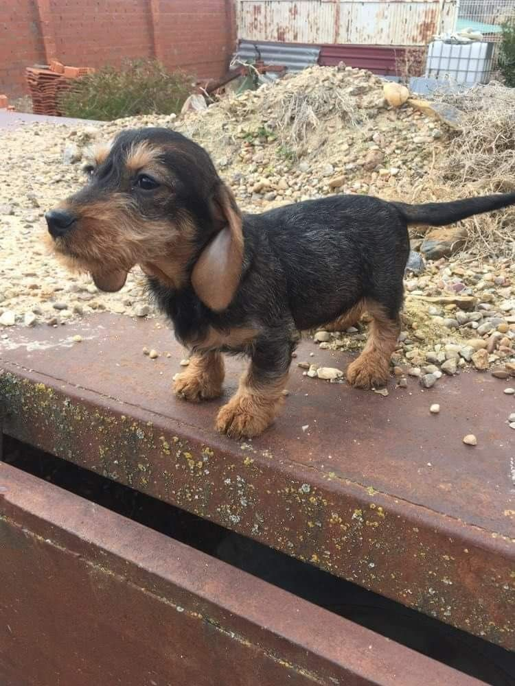 I Would Name Him Barney Dachshund Puppies Wire Haired
