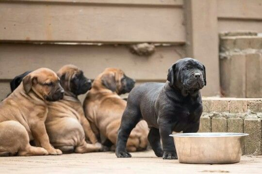 Boerboel Puppy Welpen Hunde Welpen Niedliche Welpen