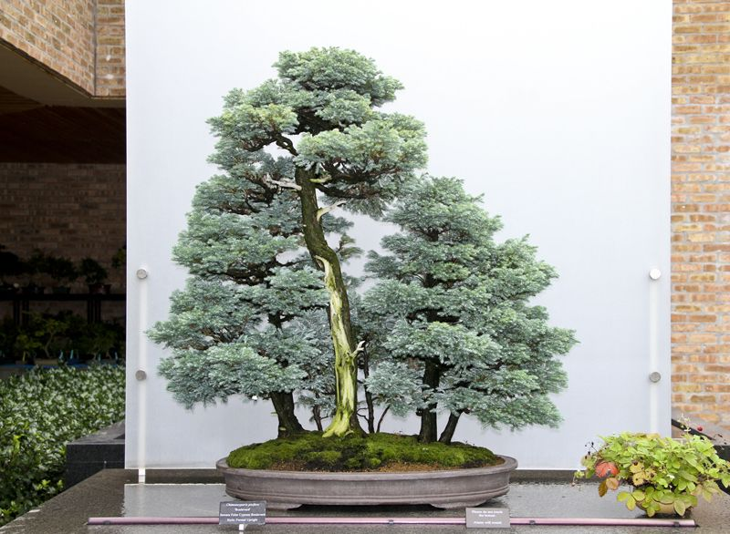 2013 Midwest Bonsai Show Bonsai Preparation Bonsai Forest Bonsai Bonsai Tree