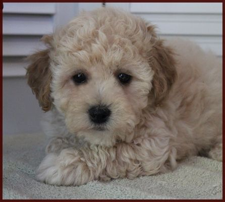 Poochon Bichon Poodle Puppies For Sale Nursery 1 Iowa Poochon Puppies Poodle Puppy Puppies