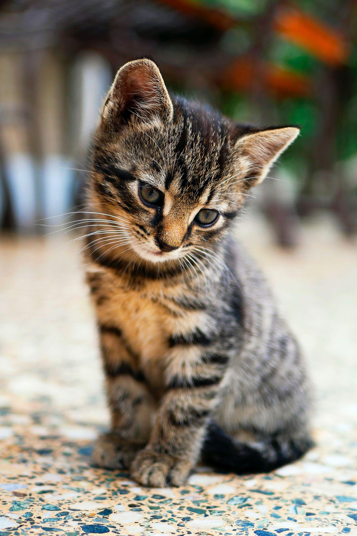 Cat T Shirt Store Kitten Images Tabby Kitten Kittens Cutest