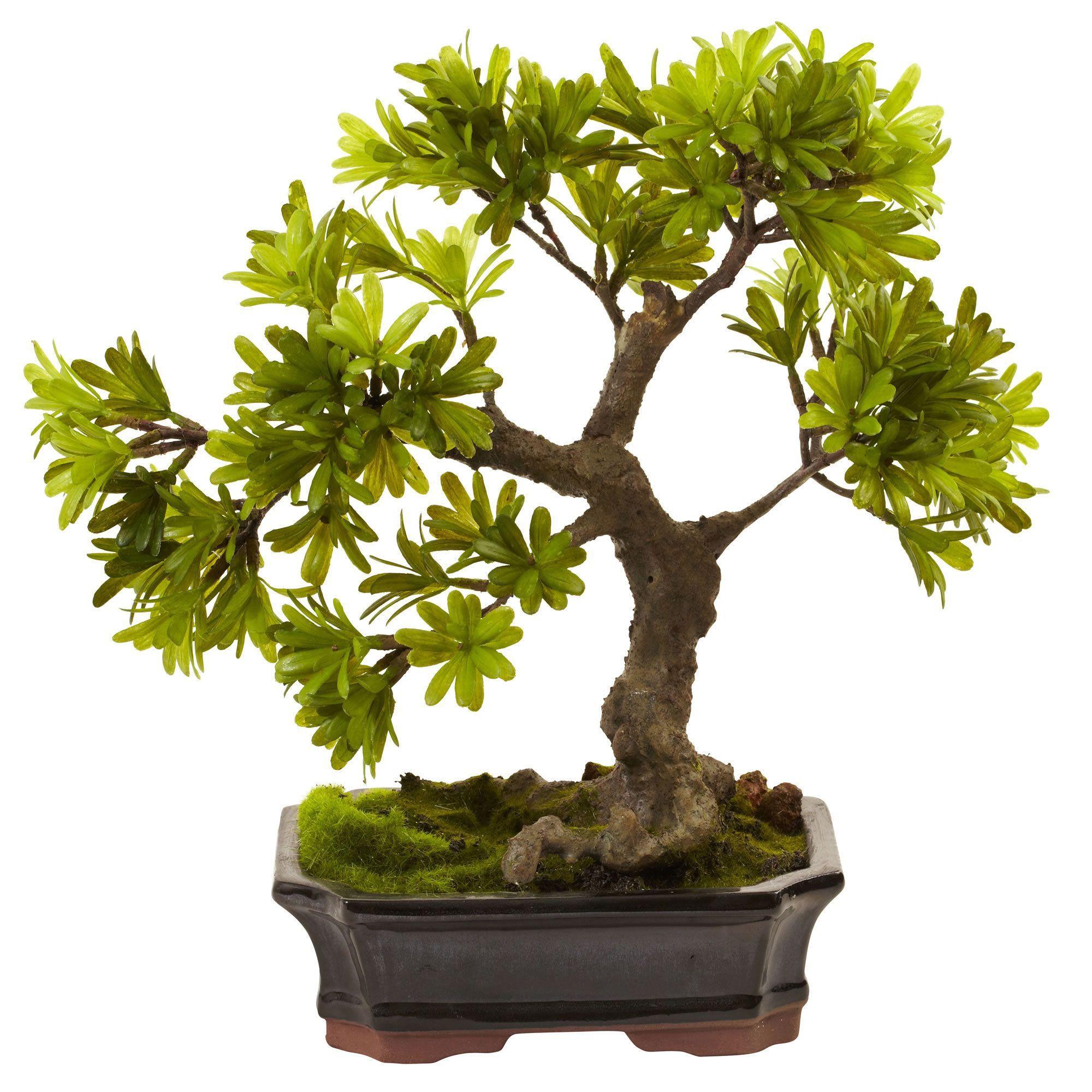 Our Best Decorative Accessories Deals Podocarpus Bonsai Bonsai Tree Indoor Bonsai Tree