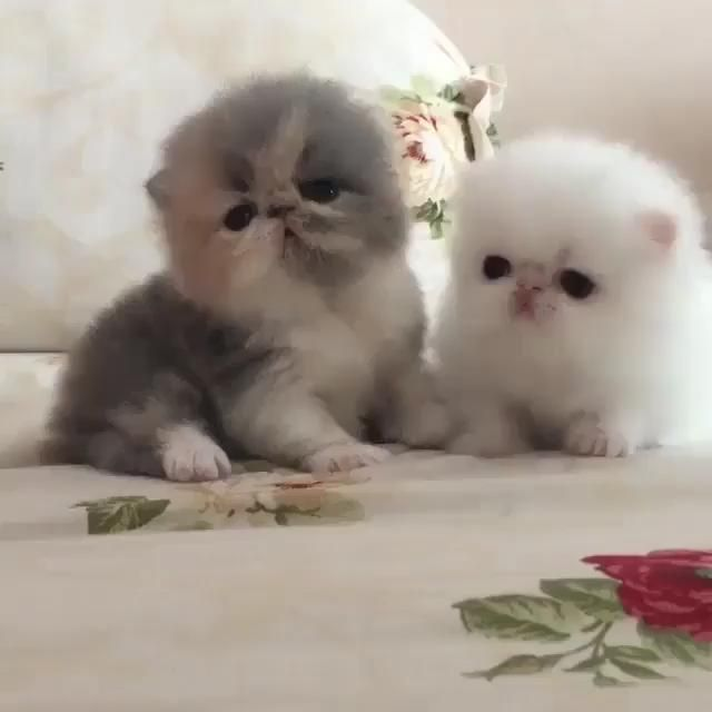 So Adorable Cat Ever I Seen Video In 2020 Kittens Cutest Cat Memes Cute Animals