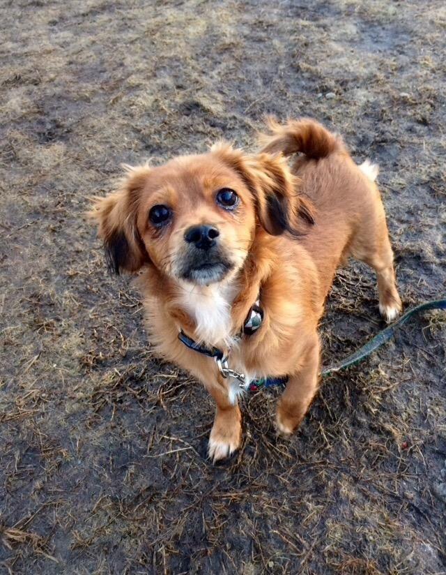 Adopt Rusty on Spaniel dog, King charles spaniel
