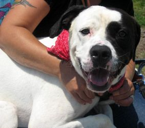 Leroy is an adoptable Boxer Dog in Syracuse, NY. Leroy is