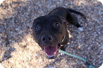 Jacksonville Fl American Bulldog Mix Meet Niko A Dog For
