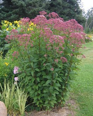 Joe Pye Weed Kat Nurseries Eupatorium Maculatum Gateway