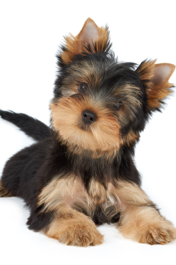 Cute Pet Isolated On White Puppy Of The Yorkshire Terrier Yorkshireterrier With Images Yorkshire Terrier Terrier Breeds Yorkshire Terrier Puppies