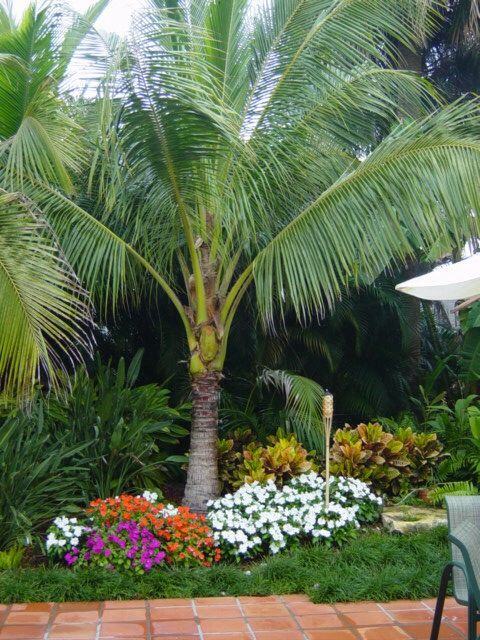 Coconut Palm Palm Trees Landscaping Garden Design Pictures