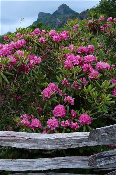 Grandfather Mountain welcomes iconic rhododendron blooms Happy Memorial Day to all! Grandfather Mountain Stewardship Foundation P.O. Box 129, Linville, NC 28646 Contact: Kellen Short |