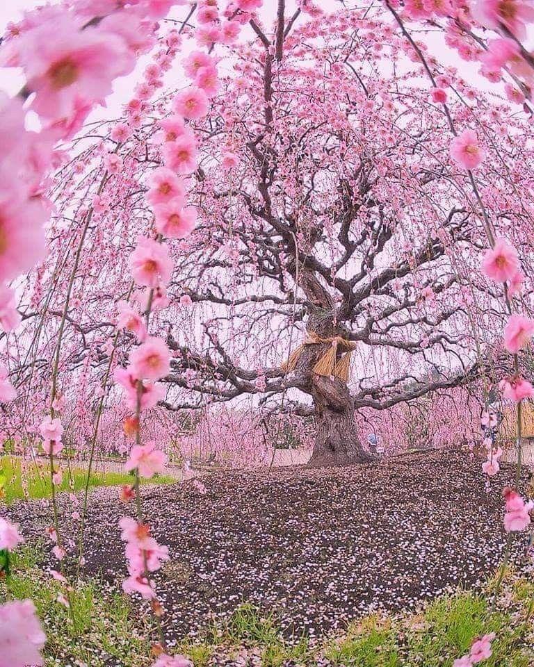 Ciruelo De 200 Anos Suzuka Forest Garden Japon Blossom Trees Cherry Blossom Tree Sakura Tree