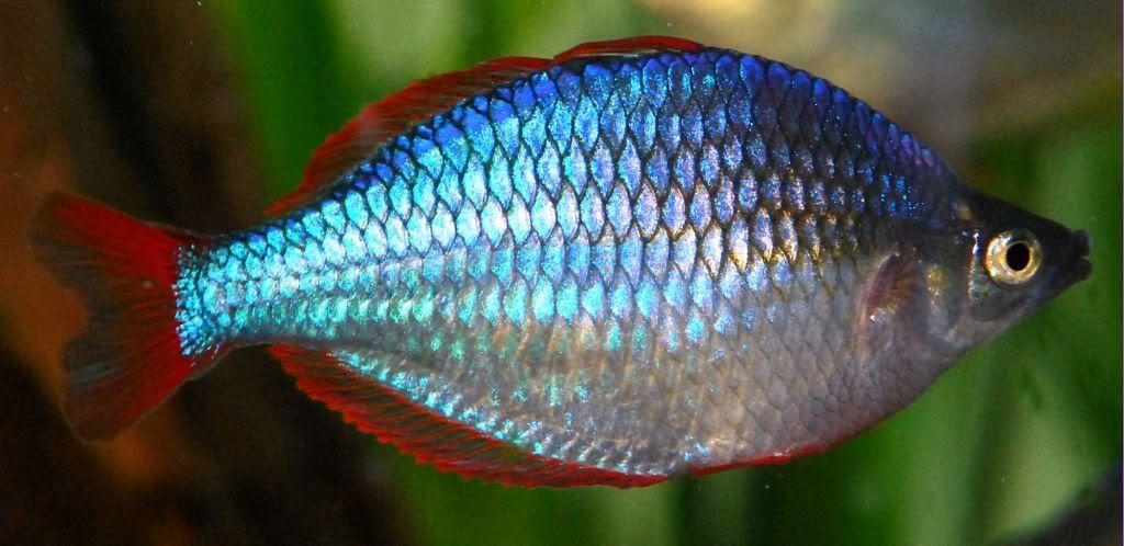 Melanotaenia Praecox Aka Neon Rainbowfish Or Dwarf Rainbow Glofish Glofish Tank Fish