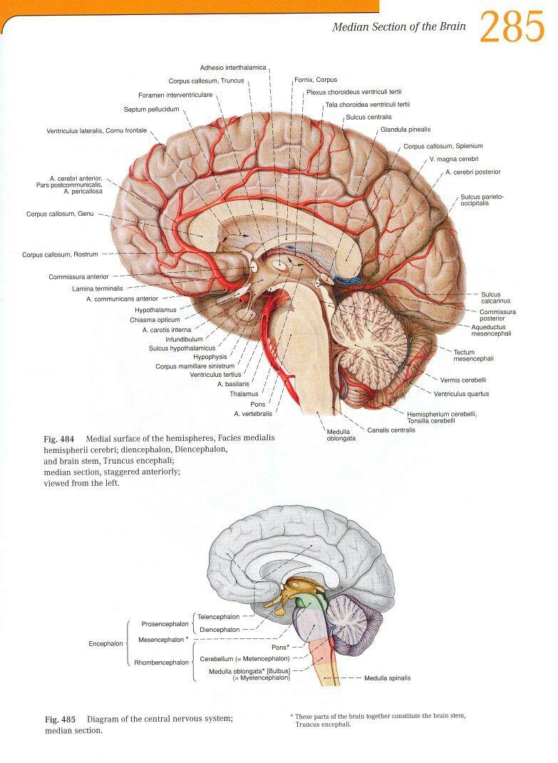 Pin von Hüseyin Yiner auf Anatomy of the Nerve system | Pinterest