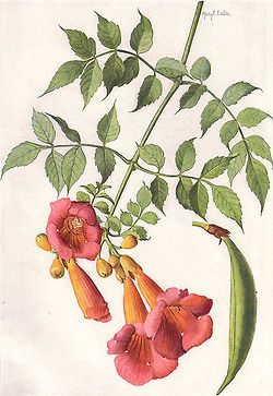 """Trumpet Vine (Bignonia radicans L.). Painting by Mary E. Eaton.      """"Our State Flowers: The Floral Emblems Chosen by the Commonwealths"""", The National Geographic Magazine, XXXI (June 1917), p. 509."""