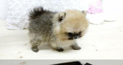 Micro Pomeranian Puppies Http Pets Vivastreet Co Uk Buy Pets
