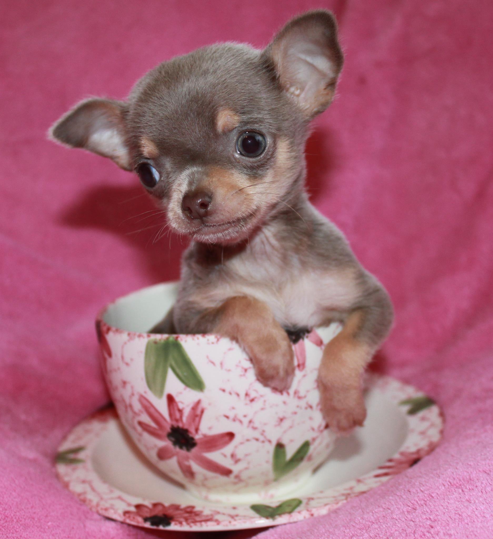 Lilac Chihuahua Teacup Chihuahua For Sale Chihuahua Puppies