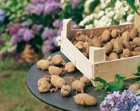 vid o planter les premi res pommes de terre jardins potagers pinterest. Black Bedroom Furniture Sets. Home Design Ideas