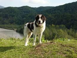 Image result for bukovina sheepdog