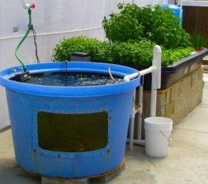 Fish tank aquaponics system visit my personal diy for Aquaponics fish food
