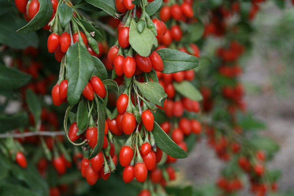 Goji Berries Can Be Grown From Seed Berry Plants Goji Berries