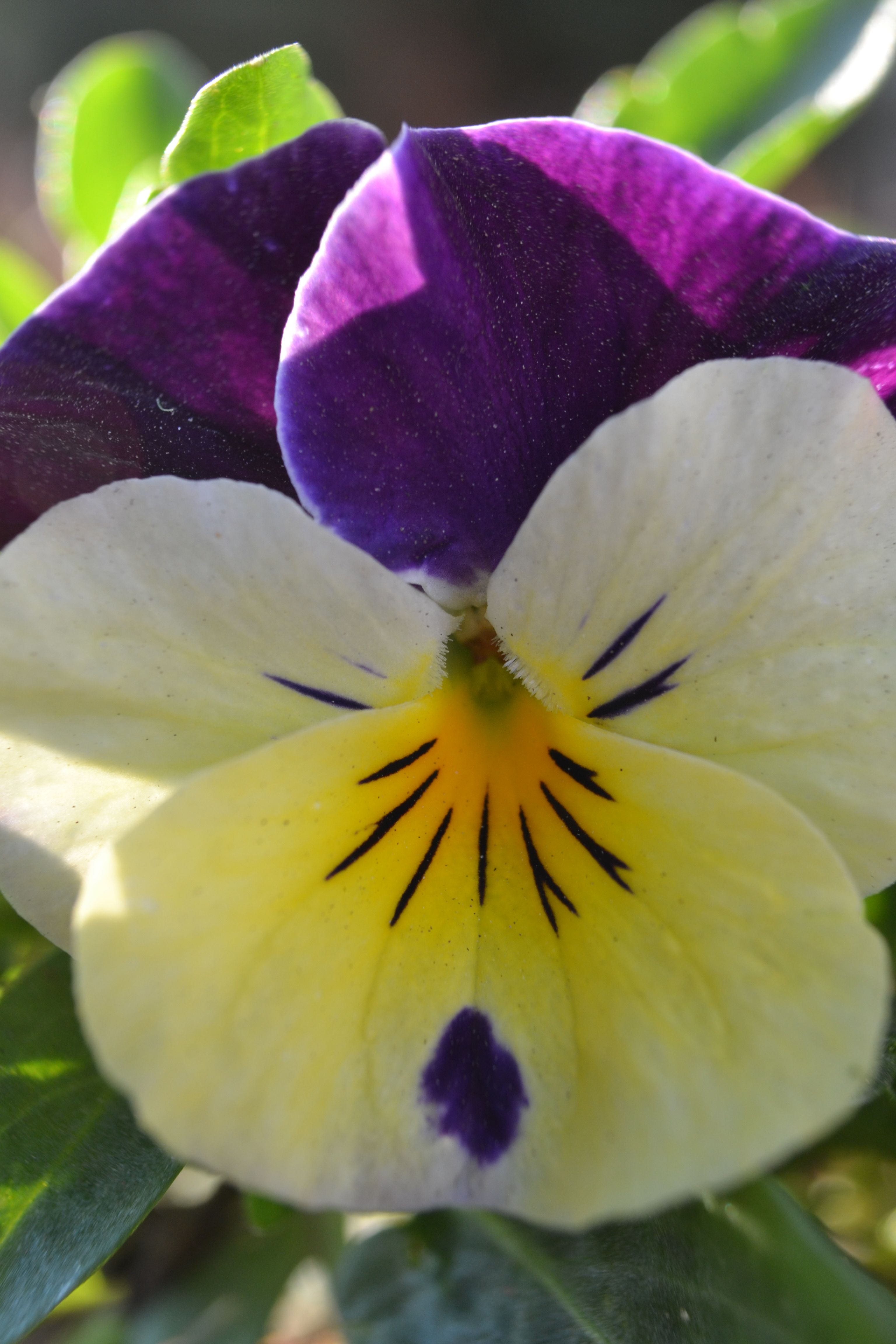 The Name Pansy Comes From The French Word For To Think Because The