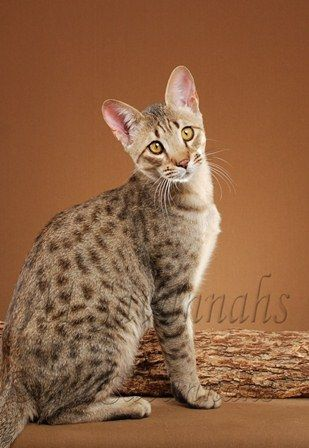 Savannah Cat cats, Savannah cat, Hybrid cat