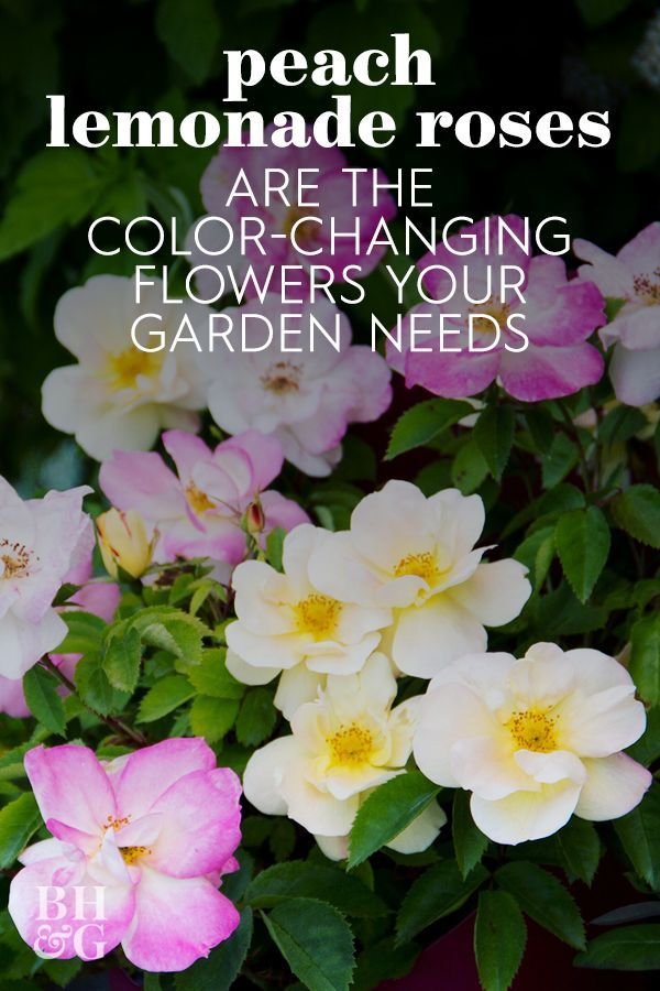 Imagine a rose that can have more than one color of flower at once. 'Peach Lemonade' is that plant. At first, its flowers are a vibrant yellow, then they shift to a gorgeous blush pink.  #rosebush #peachlemonaderoses #bestroses #gardenroses #bhg