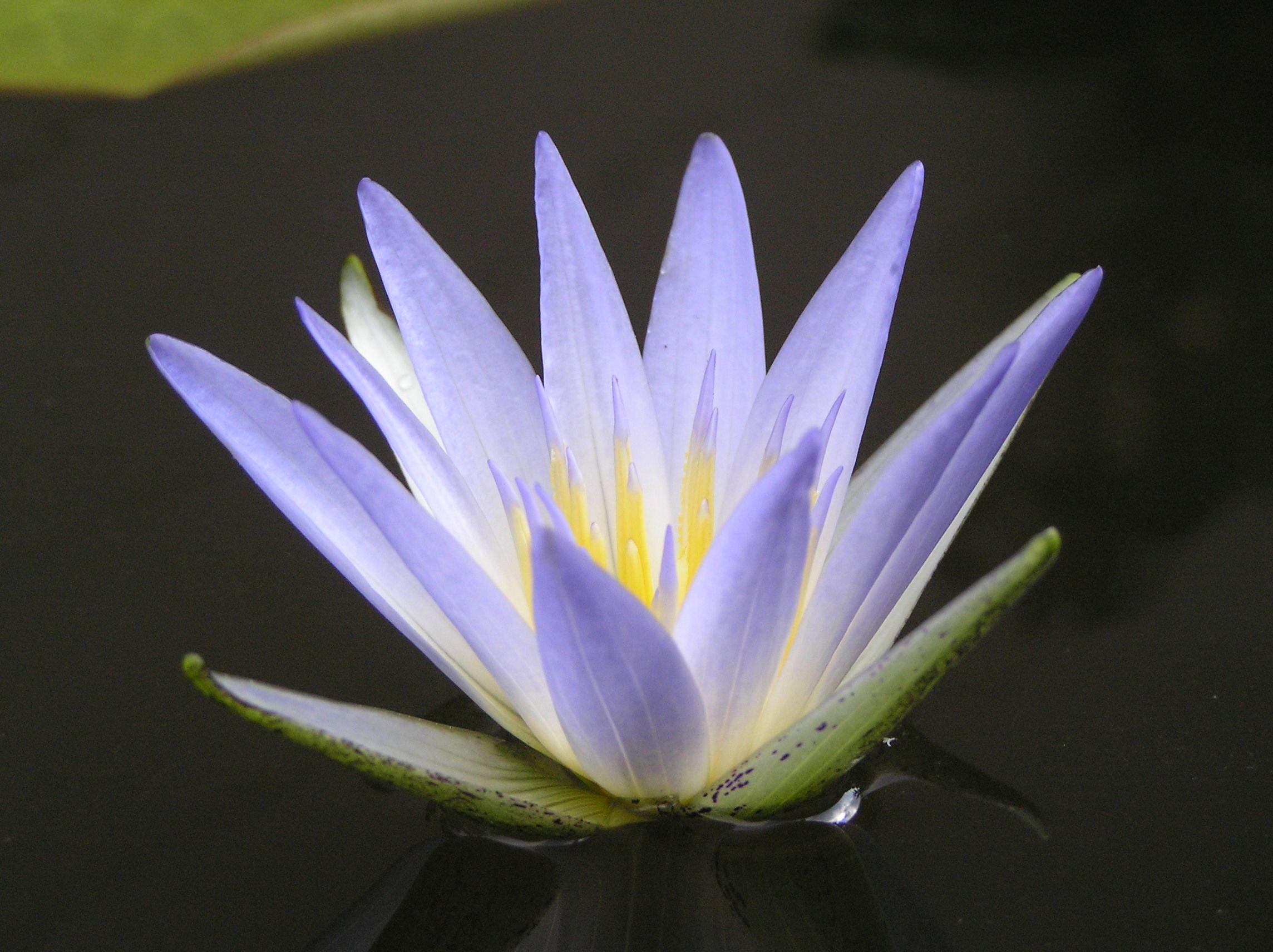 Egyptian Lotus Lotus So Beautiful Pinterest Egyptian