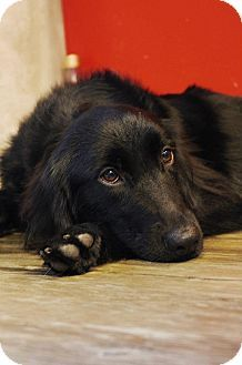 Adopt A Pet Truffle Richmond Bc Flat Coated Retriever Mix Looks Like Louie Flat Coated Retriever Dog Winter Coat Golden Retriever Art