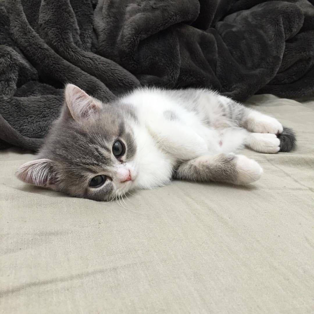 Mi Piace 43 Mila Commenti 231 Pleasant Cats Pleasantcats Su Instagram By Dooboo Cat Pleasantcats Kittens Cutest Baby Animals Cute Baby Animals