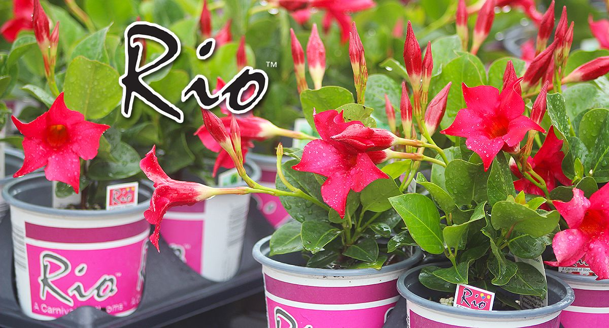 Rios quarts in the greenhouse, ready to head out to your favourite
