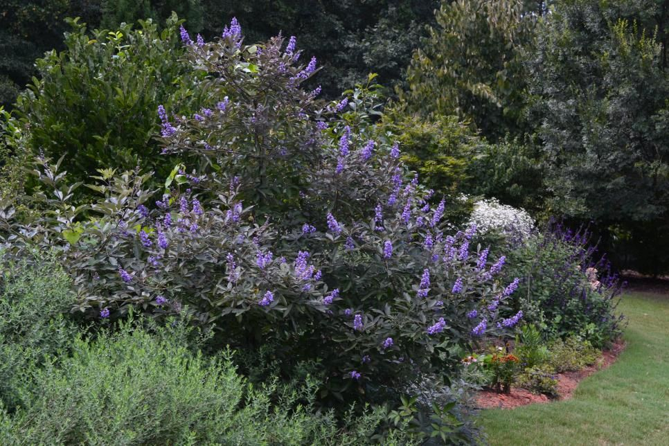 Purple Flower Clusters 8 Inches Long Cover This Small Tree All Summer Small Trees For Garden Plants Small Trees