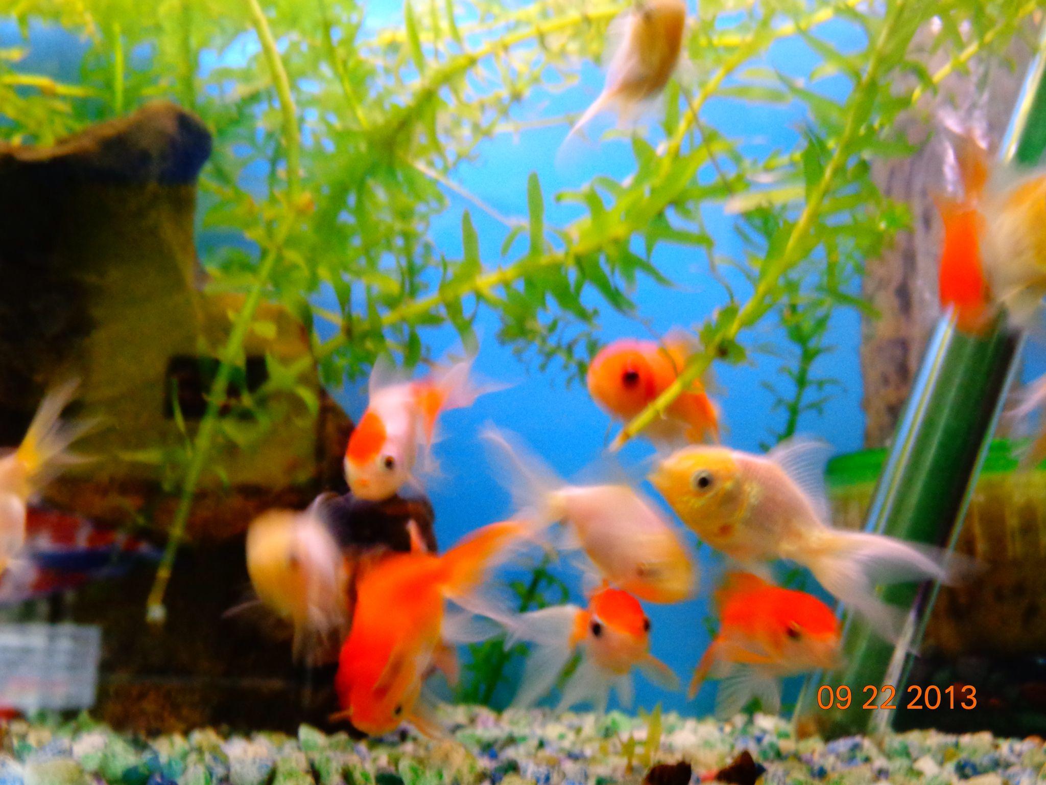 Goldfish en tienda