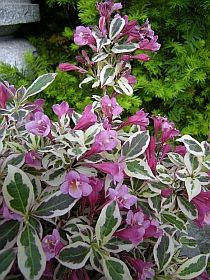 Variegated Weigela (Florida) compact shrub. (Height: 3-4 ...