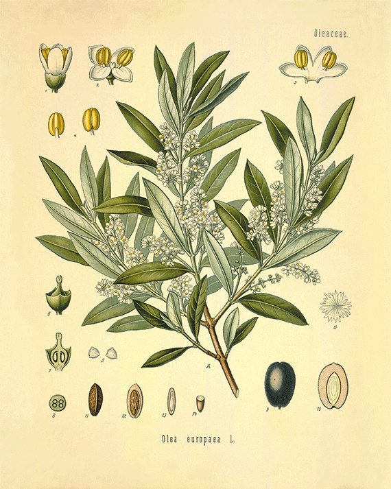 Kitchen Herbs Wall Art Antique Botanical Print Set Of 4 Herb Poster Deco