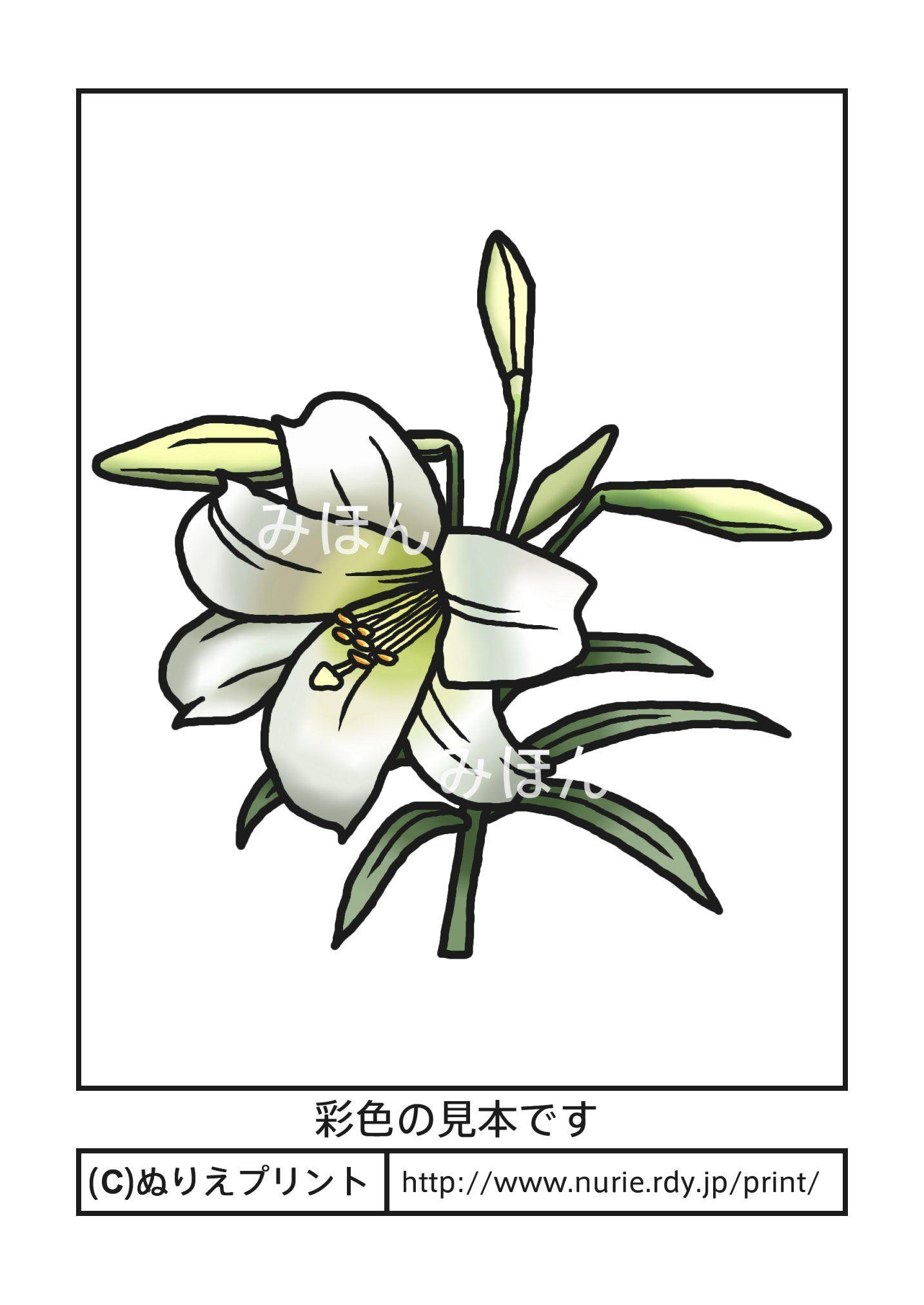 ユリ(彩色見本)/夏の花/無料塗り絵イラスト【ぬりえプリント】