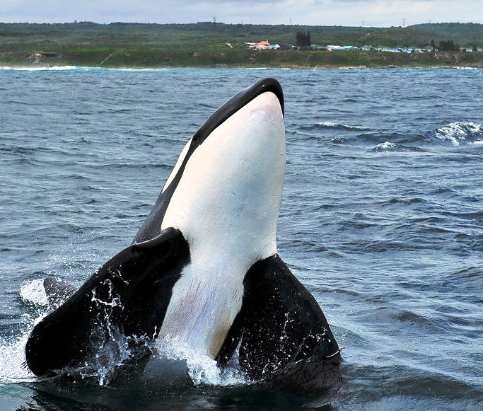 The Wolves of the Sea Orca, Africa adventure, Save the