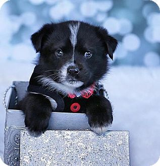 Danbury Ct Border Collie Labrador Retriever Mix Meet Wesley A Puppy For Adoption Http Www Adoptap Puppy Adoption Labrador Retriever Mix Kitten Adoption