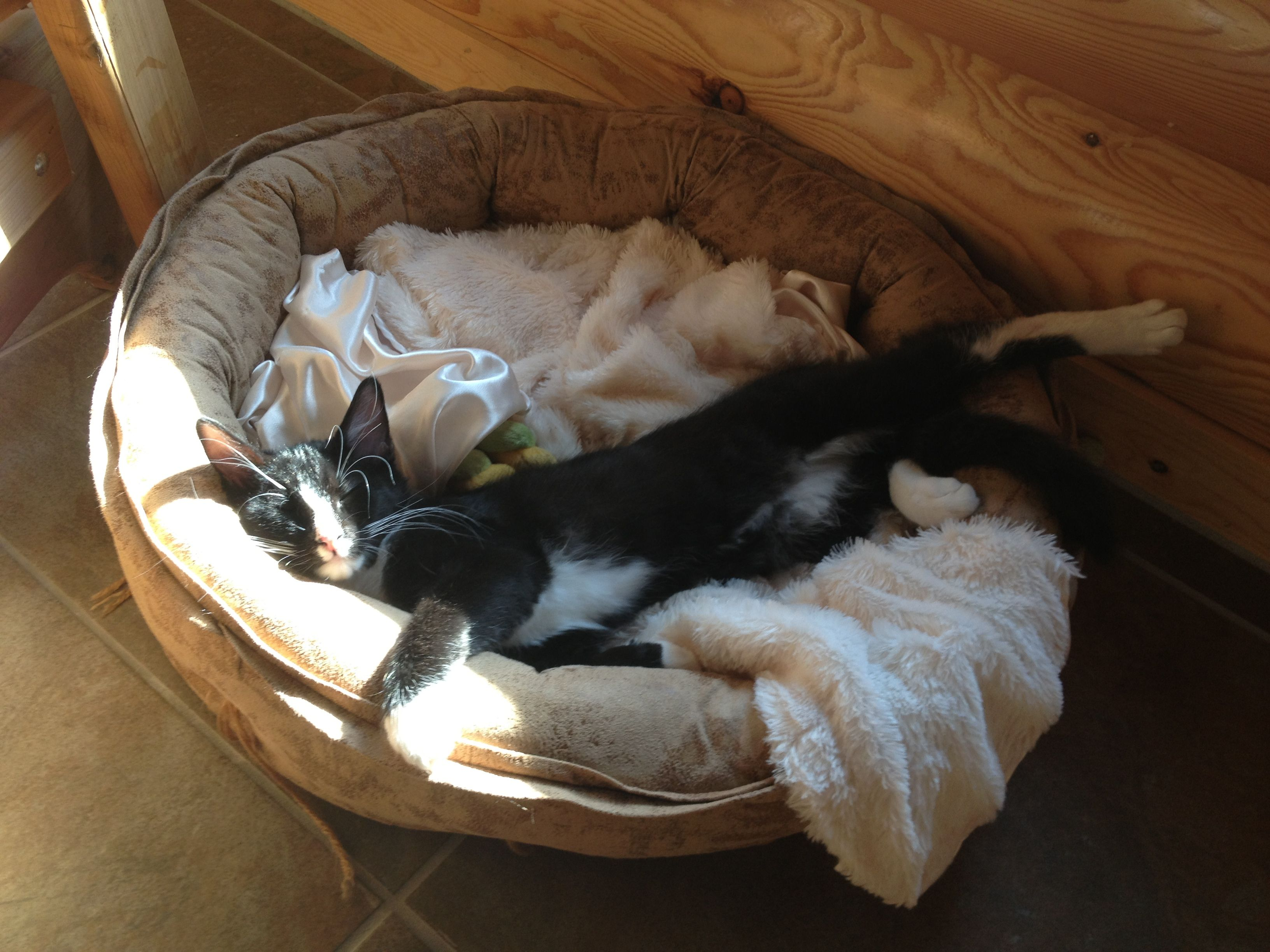 Danny needs a forever home. 3 month old kitten. Companion Pet Rescue, kc mo
