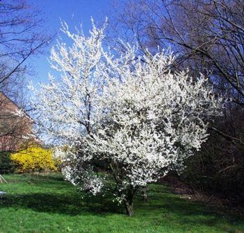 Spring Blossoms Blossom Garden Prunus Edible Garden