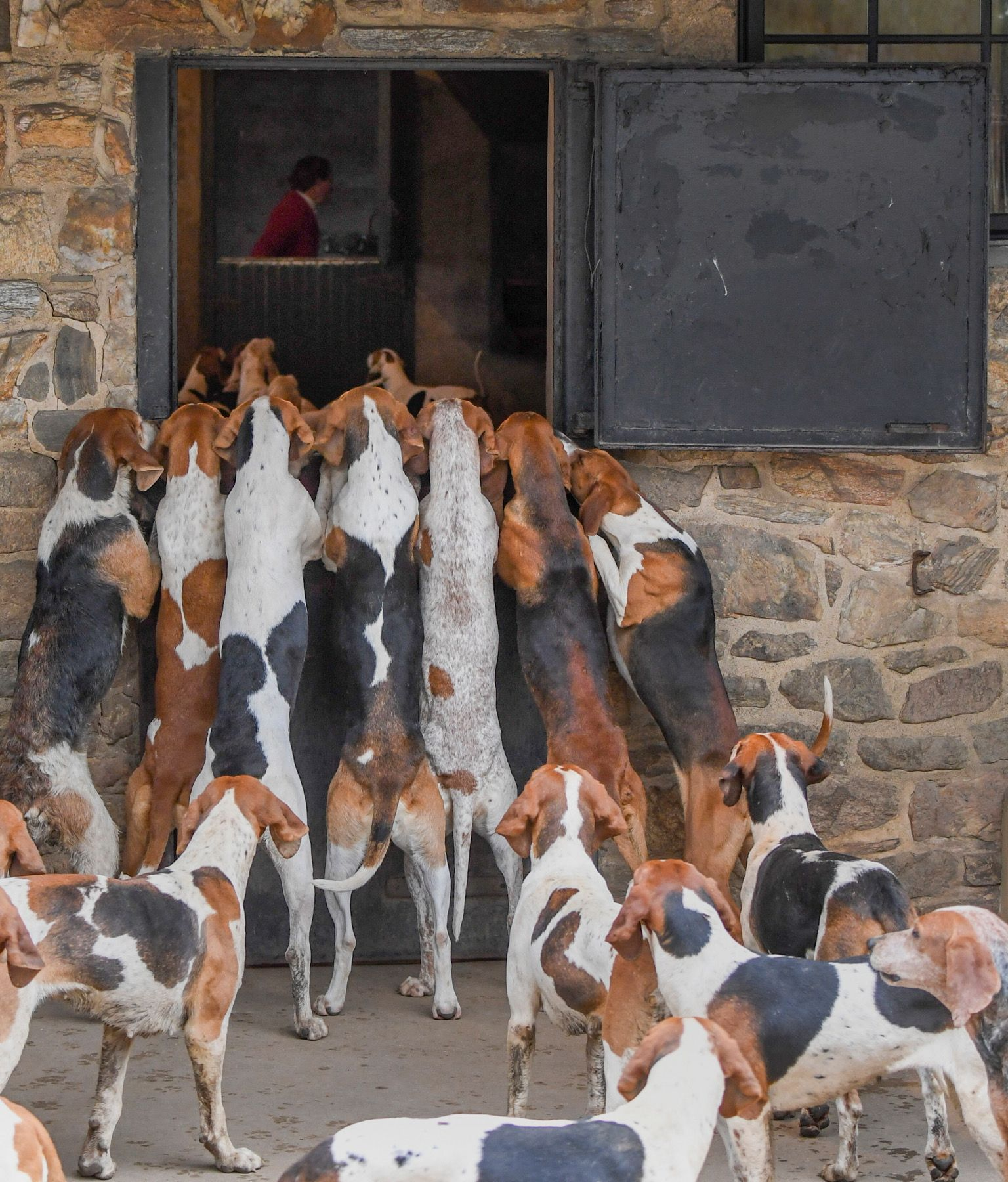Pin By James Perkins On Fox Hunting The Fox And The Hound Treeing Walker Coonhound Foxhound Dog