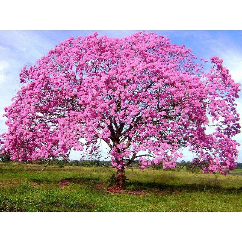 Muito Fotos De Ipês Floridos | Sementes de Ipê Rosa - Handroanthus  EK47
