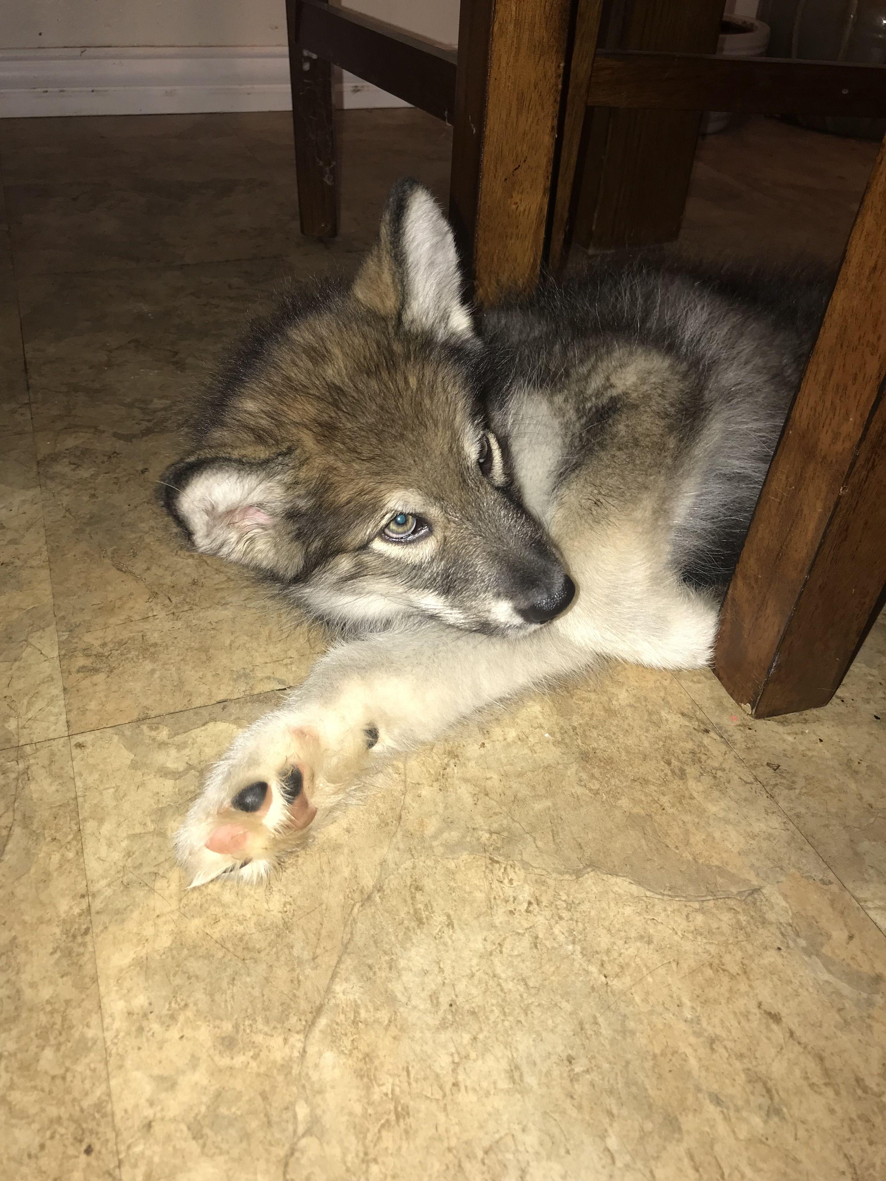 Hybrid wolf puppy. Wolamute hybrid. Animals, Cute