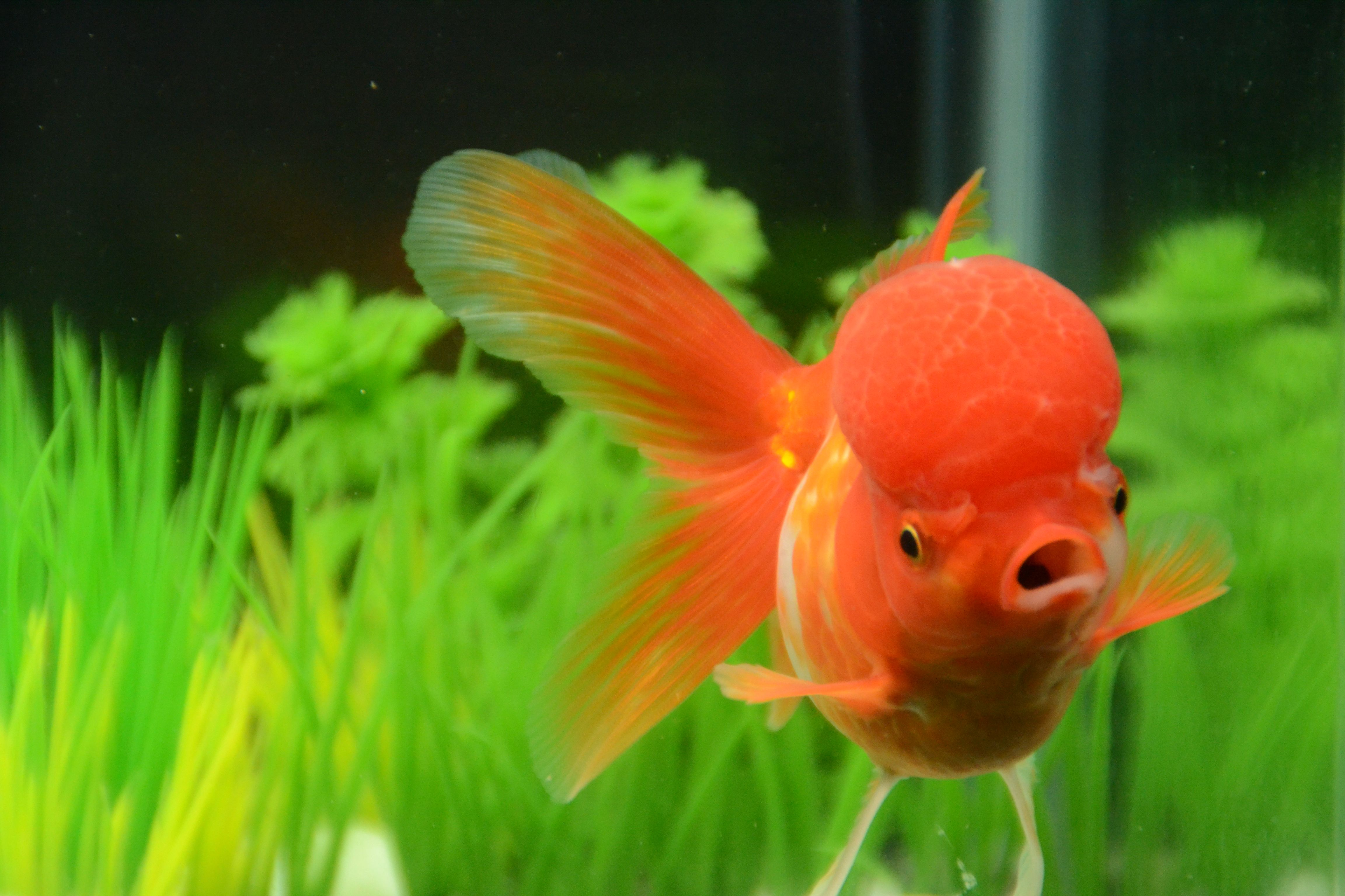 Red And White Oranda Goldfish Big Wen Buygoldfishonline Com Goldfish Oranda Goldfish Buy Goldfish