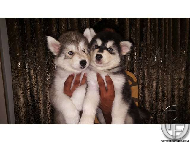 Husky Puppies For Sale In Mumbai Maharashtra India In Pet