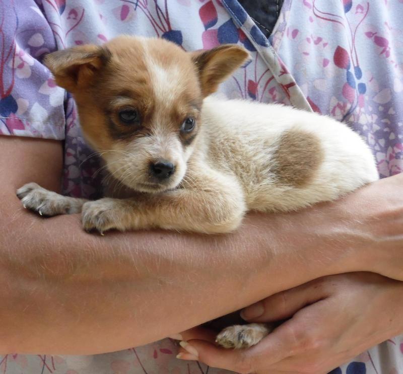 Adopt charlene on petfinder australian shepherd dogs