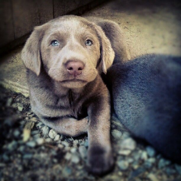 Cato My Silver Lab Puppy At 6 Weeks Old So Handsome Silver Lab Puppies Lab Puppies