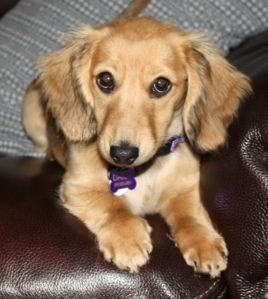 Daisy Longhaired Shaded Cream Miniature Dachshund Dachshund Love Dachshund Dog Doxie Puppies